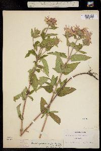 Monarda fistulosa var. menthifolia image