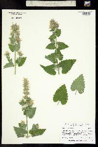 Image of Nepeta cataria