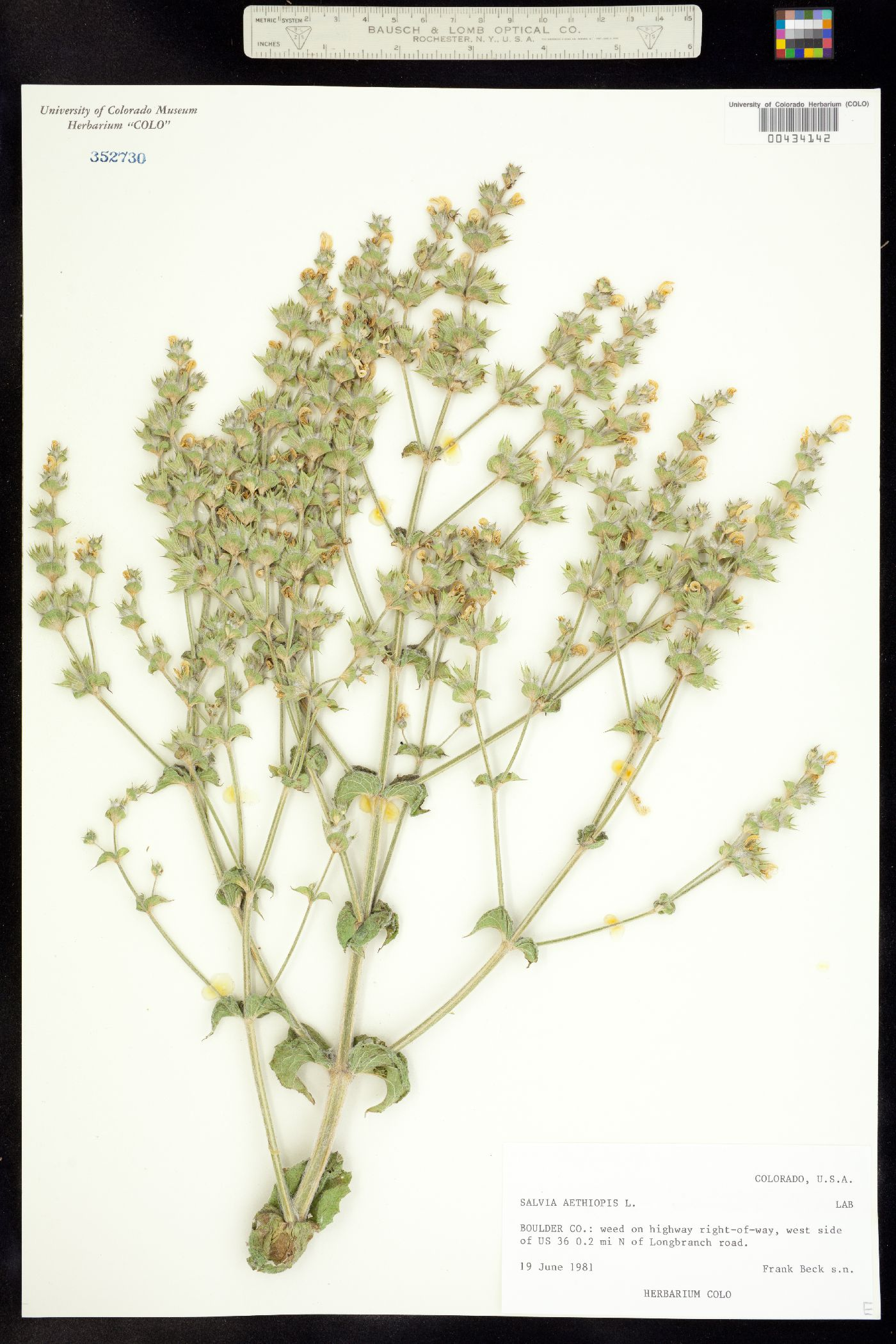 Salvia image