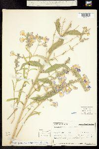 Salvia azurea image