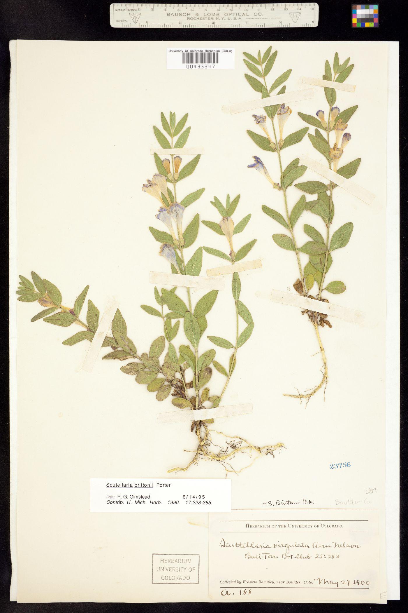 Scutellaria image