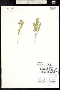 Scutellaria brittonii image