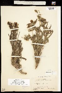 Mentzelia multiflora var. multiflora image