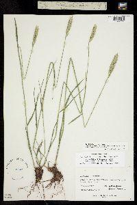 Image of Triticum pectinatum