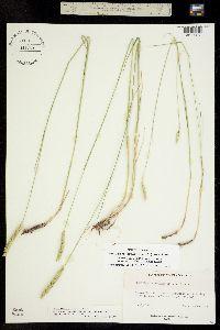 Agropyron pectiniforme image