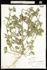 Image of Hibiscus trionum