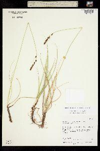 Carex utahensis image