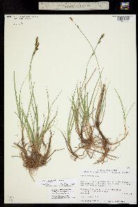 Carex parryana image