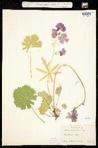 Sidalcea neomexicana image