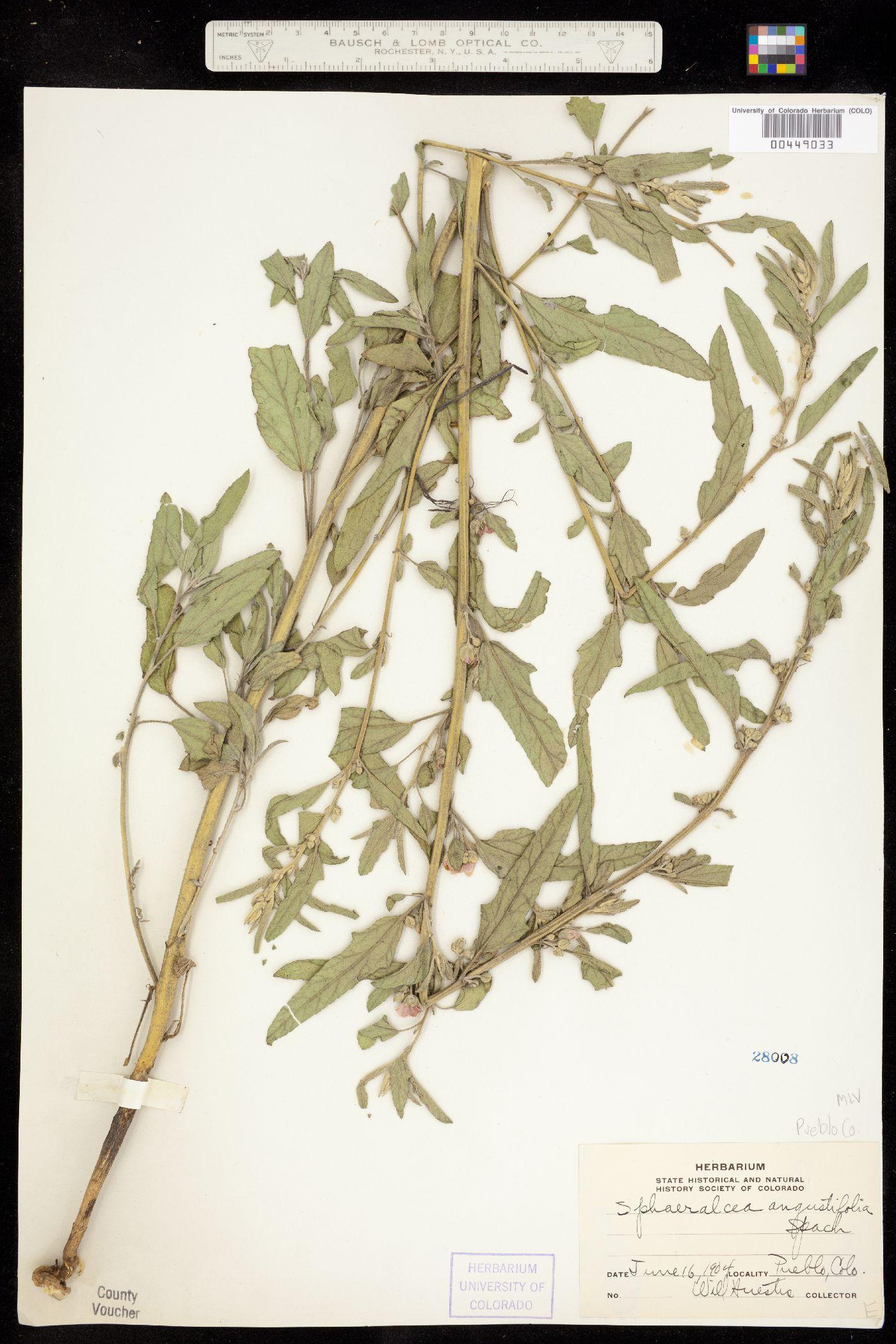 Sphaeralcea angustifolia var. cuspidata image