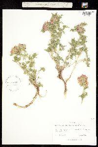 Sphaeralcea coccinea ssp. coccinea image