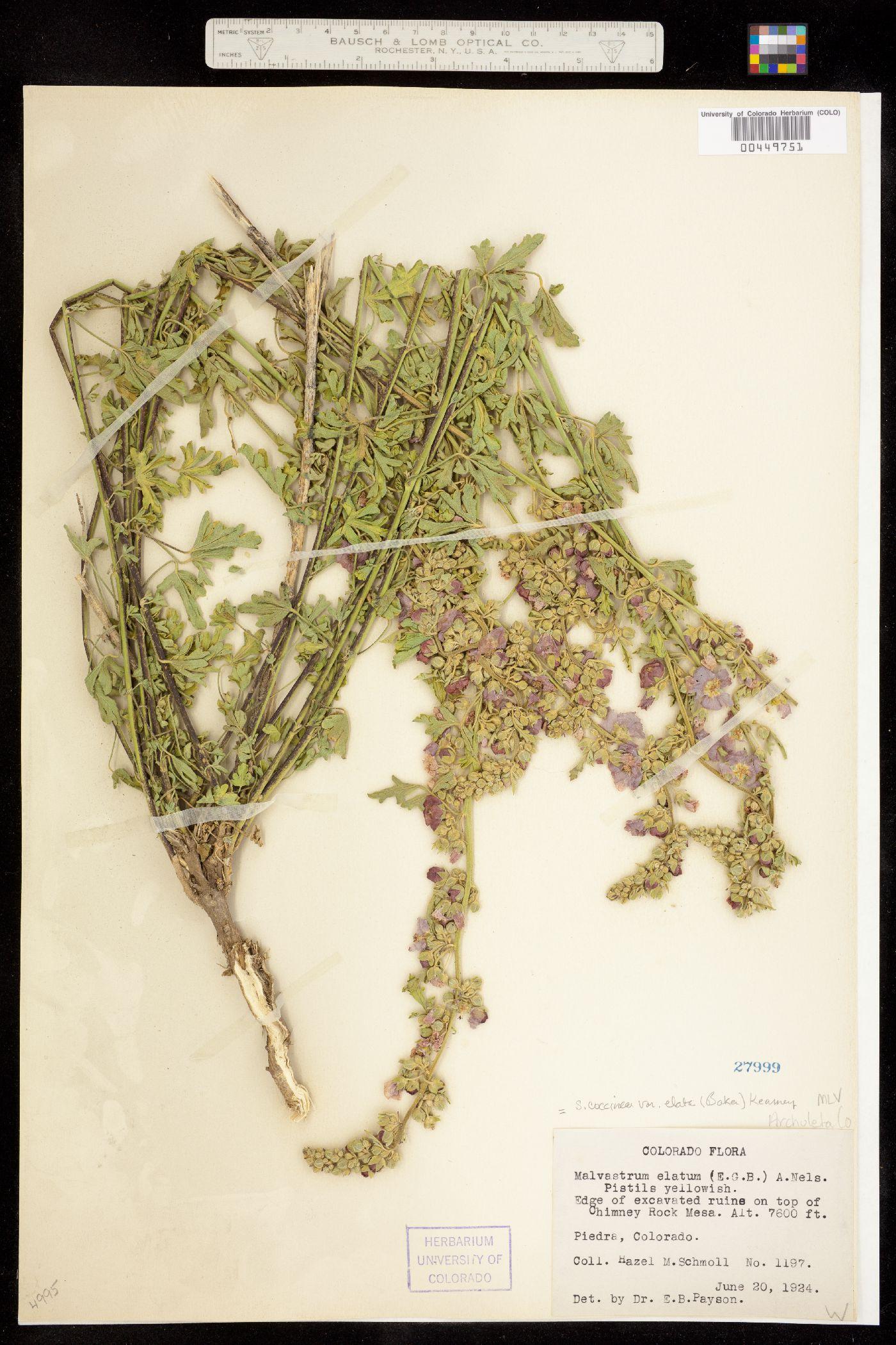Sphaeralcea coccinea ssp. elata image