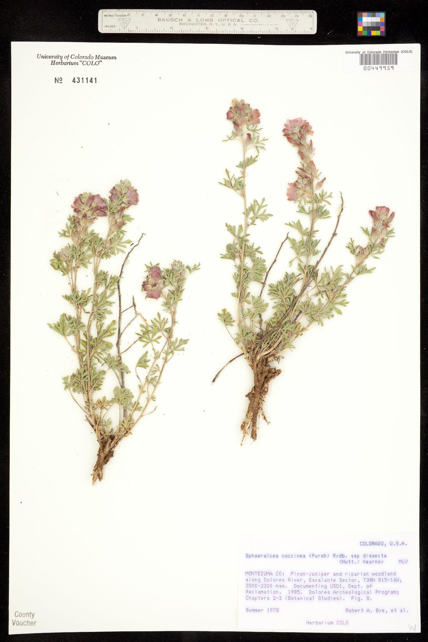 Sphaeralcea coccinea ssp. dissecta image