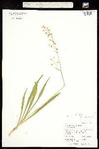Zigadenus virescens image