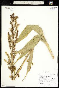 Veratrum tenuipetalum image