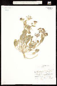 Abronia elliptica image