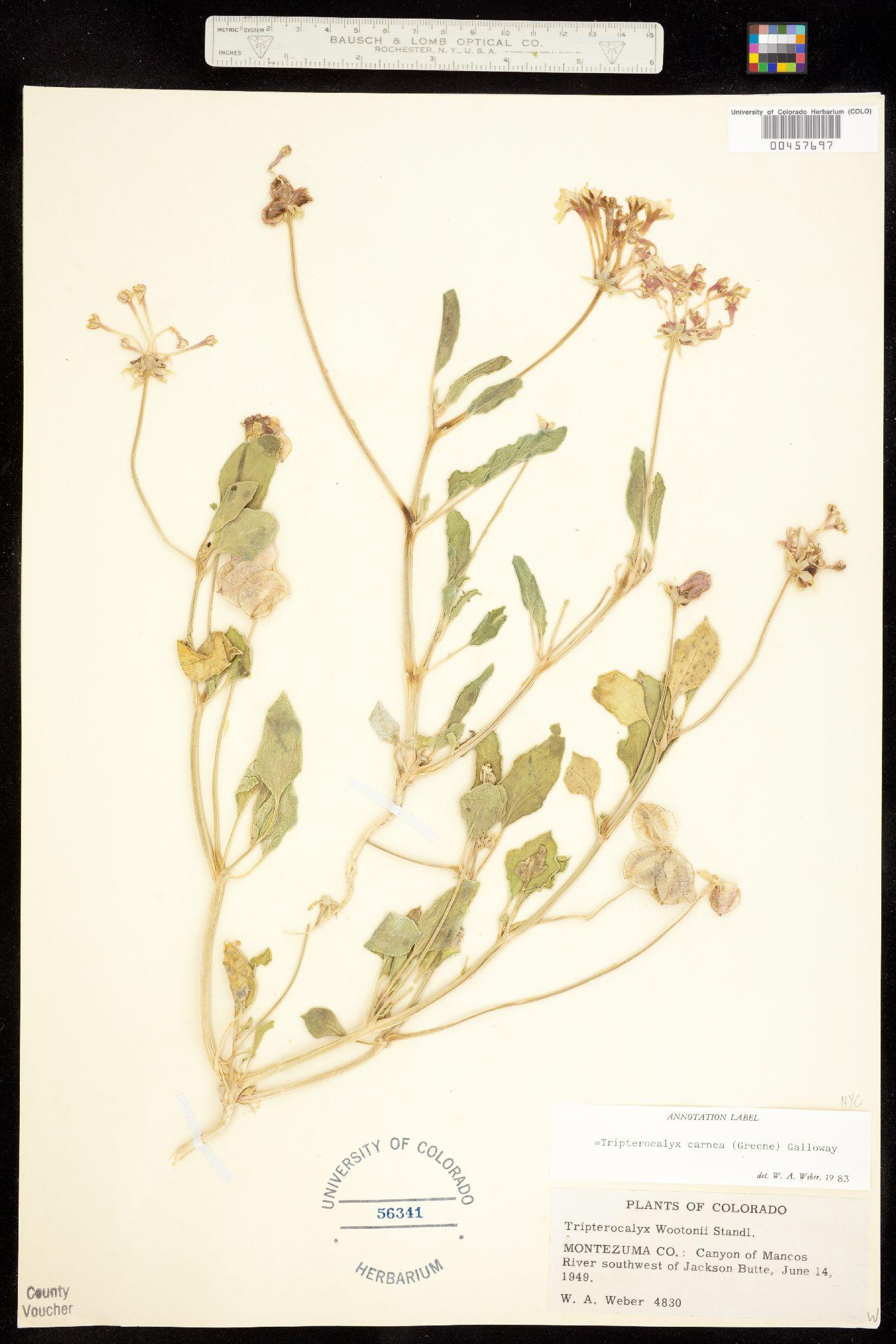 Tripterocalyx carneus var. wootonii image