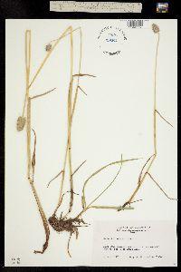 Image of Alopecurus alpinus