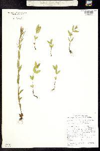 Epilobium lactiflorum image