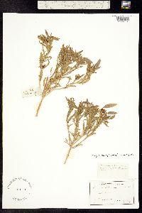 Oenothera albicaulis image