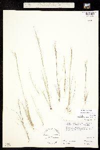 Image of Aristida dichotoma