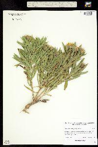 Image of Oönopsis foliosa
