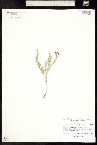 Oenothera canescens image