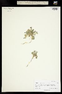 Lupinus brevicaulis image