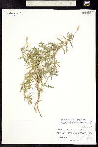 Oenothera pallida subsp. trichocalyx image