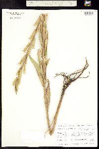 Oenothera villosa image