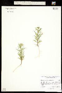 Image of Polanisia jamesii