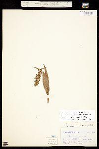 Coeloglossum viride image