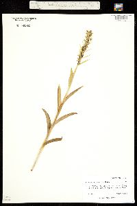 Image of Coeloglossum bracteatum