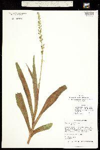 Platanthera tescamnis image