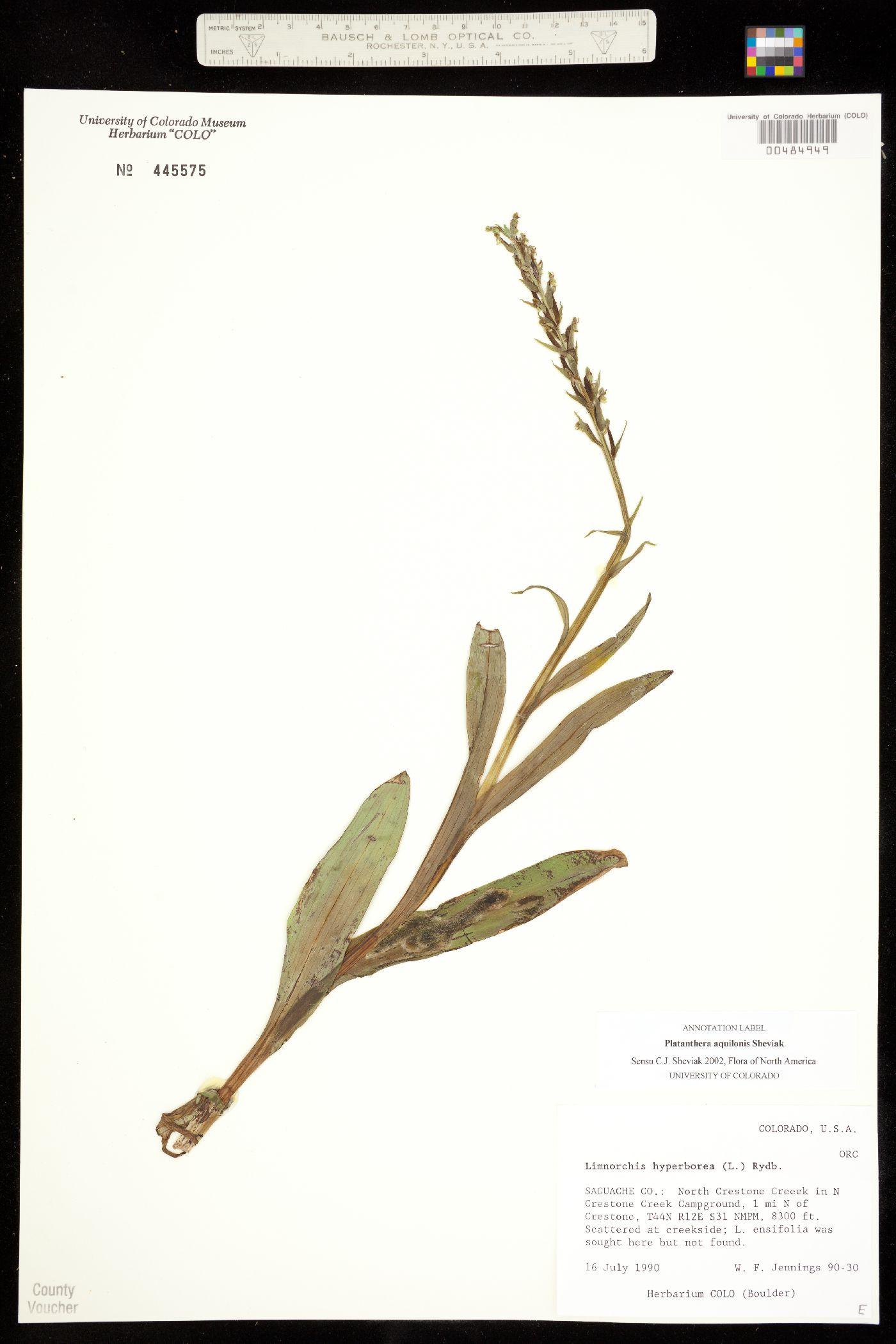 Platanthera image