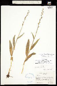 Platanthera purpurascens image