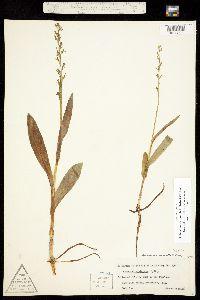 Image of Platanthera purpurascens