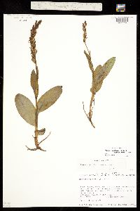 Platanthera zothecina image