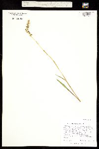 Image of Spiranthes diluvialis