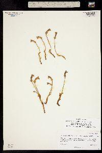 Orobanche uniflora image