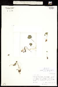 Oxalis caerulea image