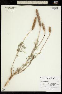 Dalea cylindriceps image