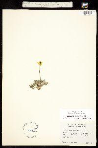 Papaver kluanense image