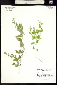 Image of Scutellaria lateriflora