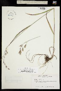 Image of Bromopsis canadensis