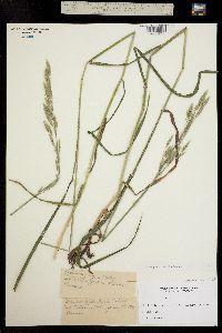 Bromus inermis var. inermis image