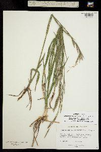 Bromopsis pumpelliana image