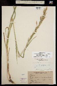 Image of Bromopsis pumpelliana