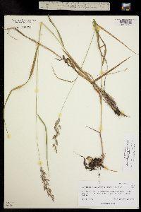Calamagrostis canadensis image