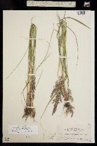 Image of Calamagrostis canadensis